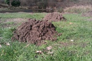 catching moles from a farm in west sussex